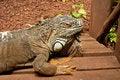 Free Iguana Royalty Free Stock Photo - 17962905