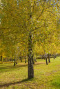 Free Birch Grove In Autumn Royalty Free Stock Photography - 17967097