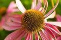 Free Echinacea Flower Stock Image - 17967811