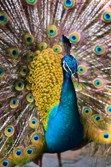 Free Indian Peacock Bird Proudly Showing His Feathers Stock Photos - 17961013
