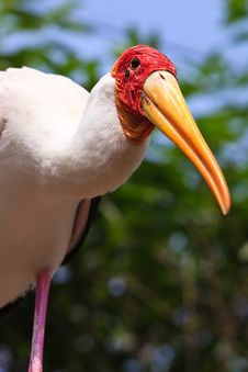 Free Close Up Of A Painted Stork Royalty Free Stock Photography - 17961257