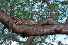 African Leopard Resting In Tree Stock Photos