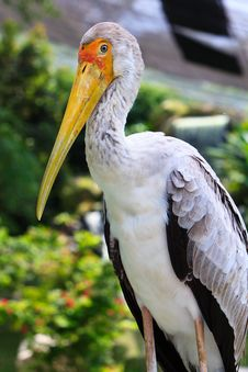Free Close Up Of A Painted Stork Stock Photo - 17961380