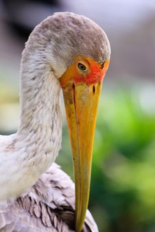 Free Close Up Of A Painted Stork Royalty Free Stock Images - 17961409