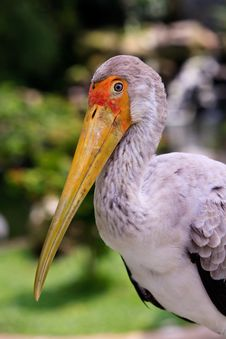 Free Close Up Of A Painted Stork Stock Image - 17961471