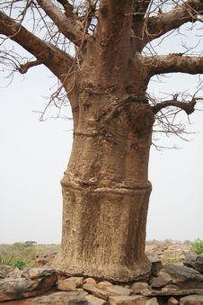 Free Baobab Stock Photos - 17961623