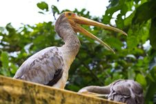 Free Close Up Of A Painted Stork Royalty Free Stock Photo - 17961675
