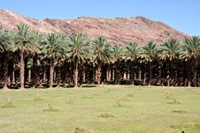 Free Date Palm Farm Royalty Free Stock Photo - 17962135
