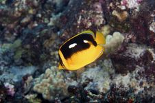 Free Four Spot Butterfly Fish Stock Photography - 17962732