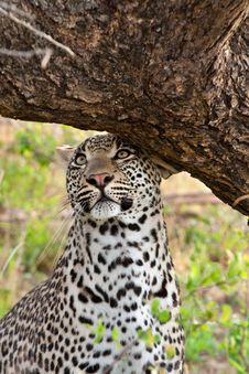Free Leopard Scent Marking Royalty Free Stock Images - 17963209