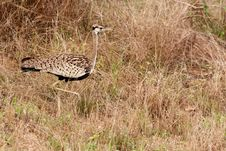 Free Red Crested Korhaan Royalty Free Stock Photo - 17963555