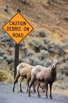 Free Bighorn Sheep Under Road Caution Sign Royalty Free Stock Photo - 17963905