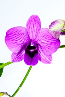 Free Beauty Purple Orchid Stock Images - 17964074