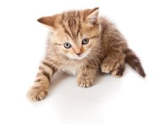Free A Little Scottish Straight Kitten Is On The Floor Stock Photos - 17965433
