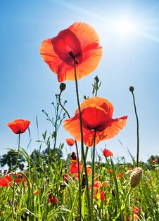 Free Poppy Field Stock Images - 17966044