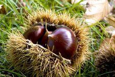 Free Chestnut Stock Image - 17966431