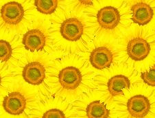 Free Background From Sunflowers Stock Photography - 17966702