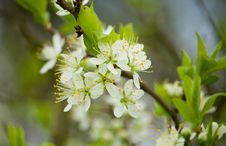 Free Blossoming Plum Tree Royalty Free Stock Photo - 17967225