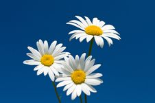 Free Three Chamomiles Against Blue Sky Royalty Free Stock Photo - 17967385