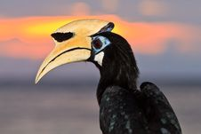 Palawan Hornbill Bird In Close Up Stock Photography