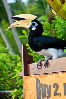 Palawan Hornbill Bird In Close Up Royalty Free Stock Image