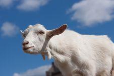 Free White Goat Stock Images - 17968194