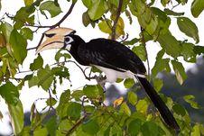 Palawan Hornbill Bird In Close Up Royalty Free Stock Photography