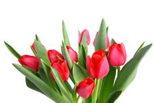 Free Tulip Stock Photos - 17968613