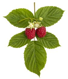 Ripe Raspberries And Flower Stock Photos