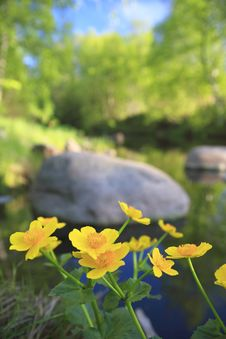 Free Marsh Marigold Royalty Free Stock Images - 17968649