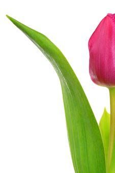 Free Tulip Royalty Free Stock Images - 17968839