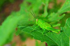 Free Macro Of Grasshopper Stock Photos - 17969263