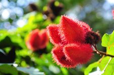 Free Fruits Of Lipstick Tree Stock Images - 17969294