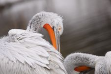 Free Detail Of Pelican Stock Photography - 17969462