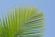 Free Palm Leaves Royalty Free Stock Photography - 17969617
