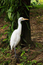 Free White Cattle Egret Bird On The Ground Royalty Free Stock Images - 17975609