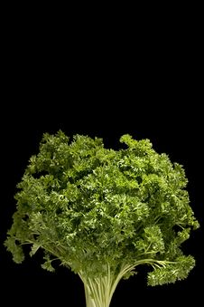 Free Curly Parsley Stock Photo - 17970140