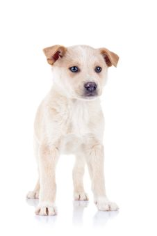 Free Blond Young Puppy Standing Stock Images - 17970654