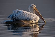 Free Pelican Royalty Free Stock Photos - 17970748
