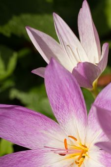 Free Autumn Crocus (Colchicum Autumnale) Stock Photo - 17970870