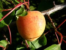 Free Peach Tree Stock Images - 17972854