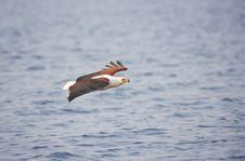 Free African Fish Eagle (Haliaeetus Vocifer) Royalty Free Stock Photo - 17974355