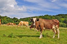 Free Cows On A Summer Pasture Royalty Free Stock Images - 17974979