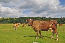 Free Cows On A Summer Pasture Royalty Free Stock Photo - 17975015