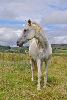 Free Horse  On A Summer Pasture Royalty Free Stock Photo - 17975235