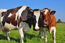 Free Cows On A Summer Pasture Stock Photography - 17975532