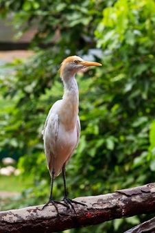 Free White Cattle Egret Bird Ona Fence Stock Photos - 17975703