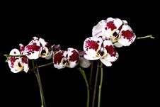 Free Beautiful Orchids Stock Photos - 17975843