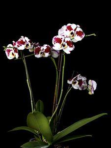 Free Beautiful Orchids Stock Image - 17975861