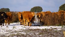 Free Herd Of Cows Royalty Free Stock Image - 17976366